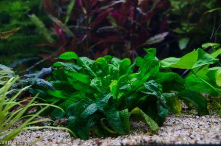 Parvifloris Tropica