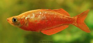 Glossolepis inscisus