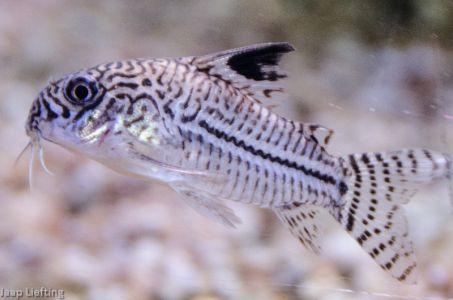 Trilineatus02