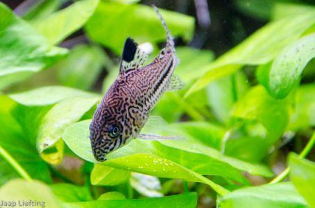 Trilineatus04